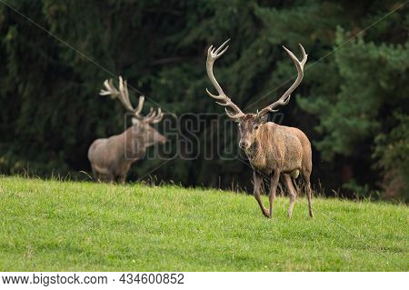 Two Red Deer Running On Grassland In Summer Nature