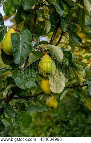 Four Pears Hanging From A Pear Tree