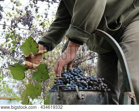 Picking Bunches Of Dark Grapes With Vines And Leaves Under A Canopy In An Autumn Vineyard, Harvestin