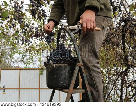 Picking Dark Red Grapes By A Man Standing On An Iron Stepladder, Picking Ripe Bunches Of Isabella Gr