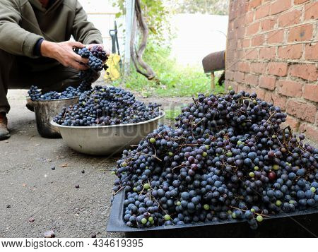 Harvested Ripe Dark Grapes In Containers In A Rural Courtyard, Harvesting Wine Material For Making H
