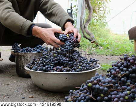 A Container With Dark Grapes In A Rural Yard And A Farmer Harvesting A Ripe Crop, Grape Material For