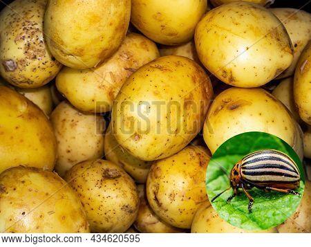 Insect Pest Leptinotarsa Decemlineata On A Potato Crop. Colorado Beetles. Insect Parasite. Potato Le