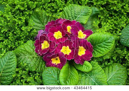 Purple Primulas Flower