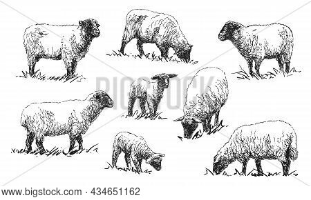 Sheep - Set Of Farm Animals Illustrations, Black And White Drawings, Isolated On White Background, V