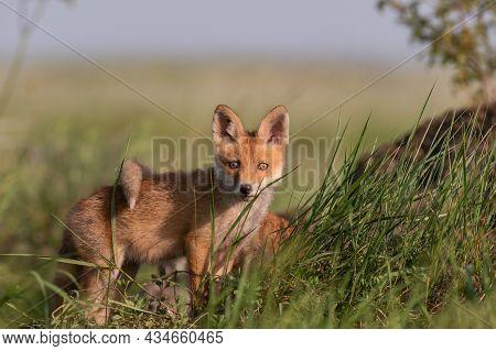 Portrait Red Fox Cub Vulpes Vulpes In The Habitat.