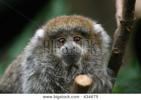 Titi Monkey Baby