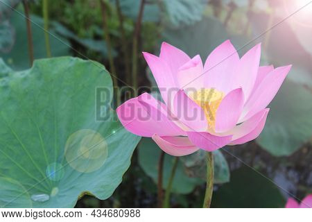 Pink Lotus Flower In The Pond With Light. Sacred Lotus Which Is Pink Nelumbo Nucifera. A Plant That