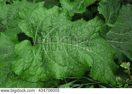 Big Green Bush Fresh Burdock Leaf Closeup. Grass Background Of A Large Leaf. Medicinal Plant Burdock