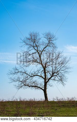 A Tree Without Foliage Grows Lonely On The Horizon Against A Blue Sky. Vertical Photo. Tree Silhouet