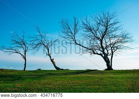Three Trees In Autumn Without Foliage Are Located On The Horizon. Green Grass And Blue Sky. Autumn B