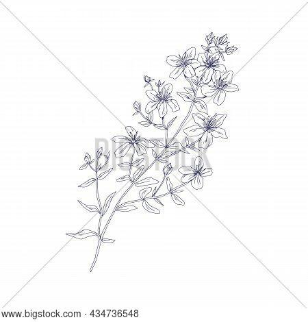 Outlined St. Johns Wort, Wild Medicinal Flower. Botanical Vintage Sketch Of Floral Goatweed Plant. H