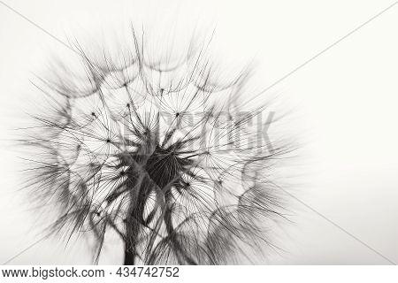 Macro Dandelion Black And White. Freedom To Wish. Dandelion Silhouette Fluffy Flower On Sunset Sky.