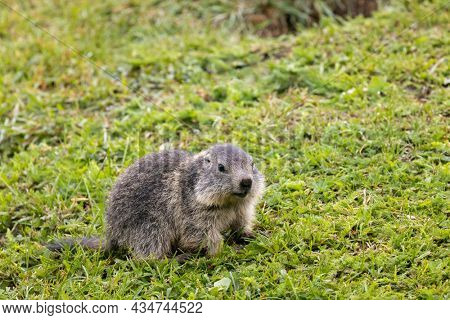 Marmot near Tignes,  Tarentaise Valley, Department Savoie,  Auvergne-Rhone-Alpes region, France