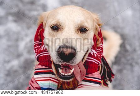Golden retriever dog with tongue out enjoying girl hands on winter nature background