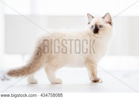 Adorable fluffy ragdoll cat standing on the floor in light room with daylight and looking back with blue eyes. Lovely cute purebred domestic feline pet outdoors with blurred white background