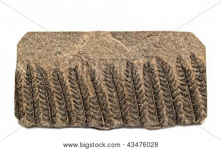 Fossil Farn-polymorphopteris