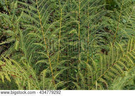 Natural Background And Wallpaper. Beautiful Green Fern Leaves In The Forest.