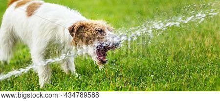 Funny Active Jack Russell Terrier Pet Dog Playing, Drinking Water In The Grass. Web Banner.