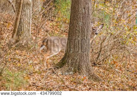 Whitetail Doe Standing Still Behind A Large Tree In The Forest Looking Out On A Hillside In Winterti