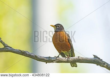 An American Robin Proudly Showing His Colors In Cuyahoga Valley National Park In Ohio