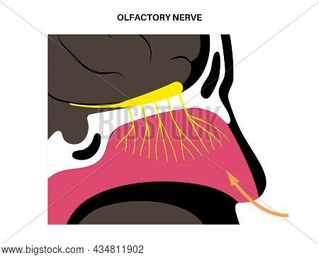 Olfactory Nerve Anatomical Poster. Human Nasal Cavity Concept. Olfactory Bulb, Smell Receptors And F