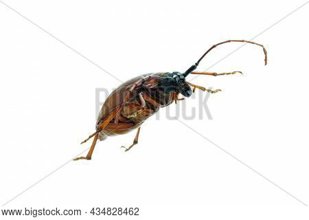 This Is A Titan Beetle Or Beetle Titanium Or Longhorned Beetles Taken Photo From Thailand, Isolated.