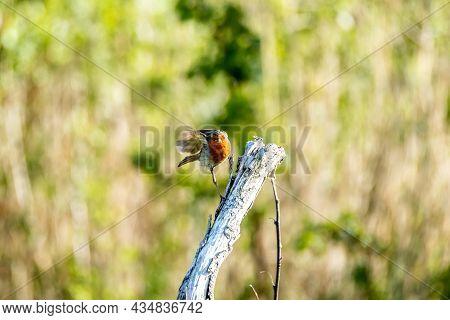 Red Robin, Red Breast Bird Visiting A Garden In Ireland