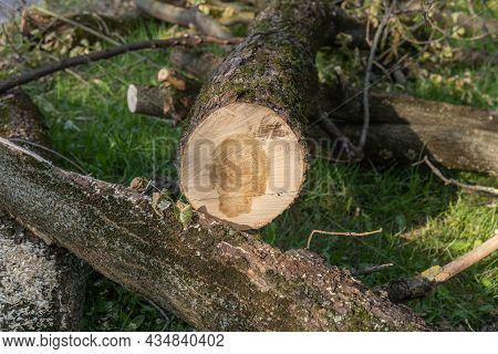 A Tree Cut By A Chainsaw On A City Park Lawn. Tree Trunk, Logs, Firewood, Branches, Leaves And Sawdu