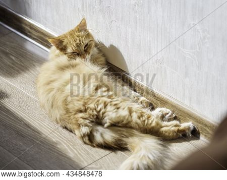 Cute Ginger Cat Sleeps Near Wall At Home. Fluffy Pet Has A Nap On Sunlight. Fuzzy Animal At Home.