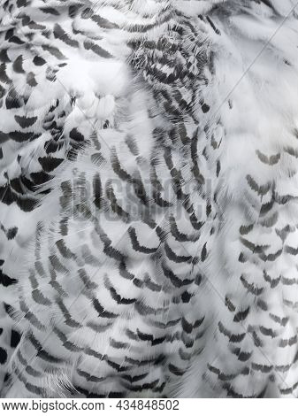 Close Up Photo Of Snowy Owl Feathers. Monochrome Back Of Night Bird In Daylight. Nyctea Scandiaca.