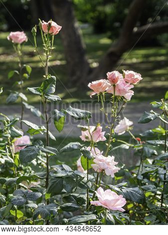 Beautiful Pink Roses At Sunset. Flowering Plant In Garden. Beauty In Nature.