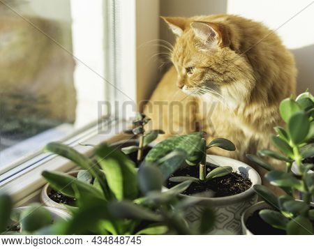 Cute Ginger Cat Is Sitting On Window Sill Among Flower Pots With Houseplants. Fluffy Domestic Animal
