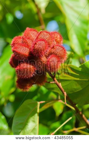 Annatto Tree Seed Pods