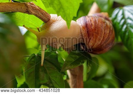 A Large White Snail Sits On A Branch Of A Plant. Close-up