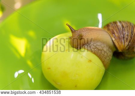 A Large White Snail Sits On A Green Apple. Close-up