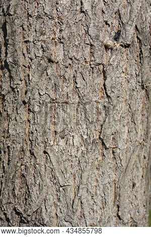 Golden Weeping Willow Bark Detail - Latin Name - Salix Alba Subsp. Vitellina Pendula