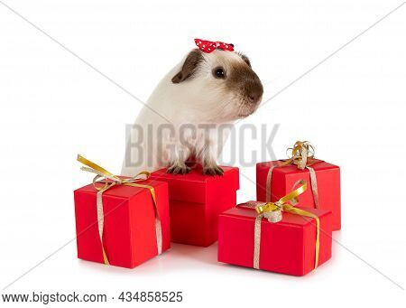 Lovely Guinea Pig With Holiday Gifts Isolated On A White Background