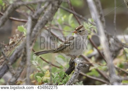 Immature White Crowned Sparrow. A Juvenile White Crowned Sparrow Is Perched On A Twig At Turnbull Wi