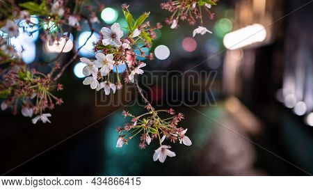 Beautiful Sakura Cherry Blossom Trees Lineup At Takase River On Night Kyoto.