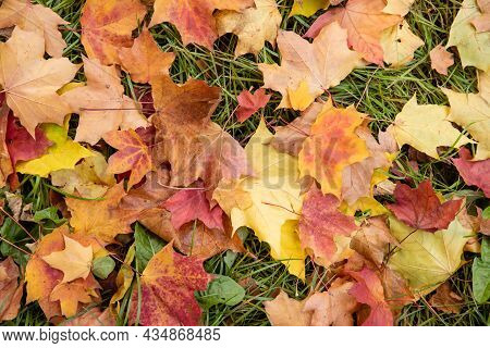 Colorful Fallen Maple Leaves On Green Grass. Autumn Leaf Fall. Concept Nature.