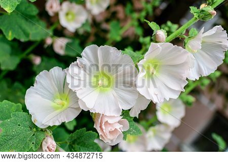 Many Delicate White Flowers Of Althaea Officinalis Plant, Commonly Known As Marsh-mallow In A Britis