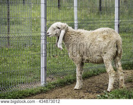 Long-eared Sheep Is Grazing In Paddock. Fluffy Farm Animal On Summer Grass Near Metal Fence.