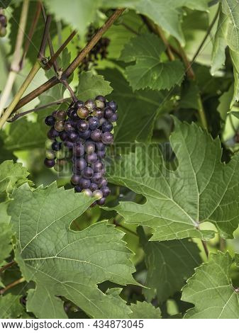 Bunch Of Grapes Grows On Vine. Dark Grapes Among Large Green Leaves. Autumn Harvest. Fall Season At