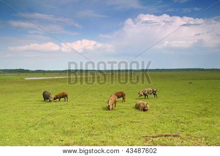 Pigs In A Meadow