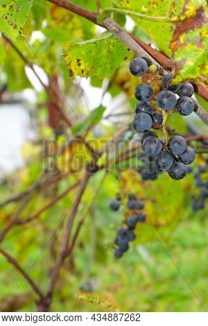 Bunches Of Wild Black Grapes On A Vine Among Leaves And Vines.