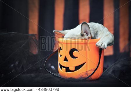 Funny French Bulldog Dog Puppy With Head In Spooky Halloween Trick Or Treat Basket In Front Of Black