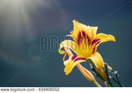 Hemerocallis Bonanza, Bonanza Daylily, Perennial Tuft Forming Herb With Linear Leaves And Canary-yel