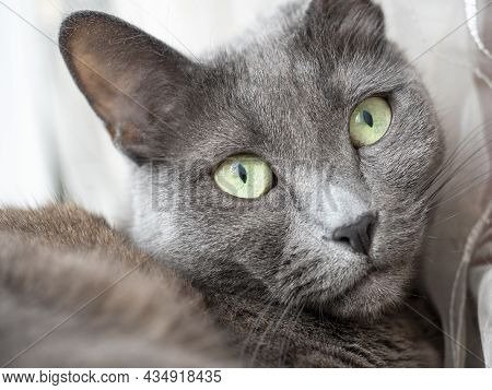 Close Up Portrait Of A Gray Blue Cat Looking At The Camera