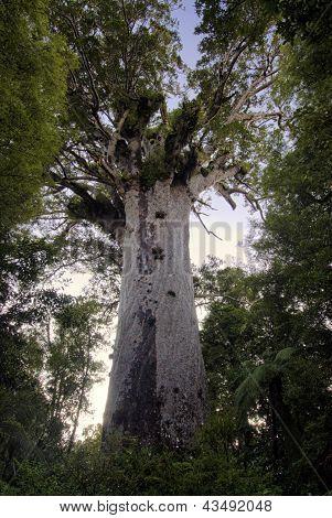 Tane Mahuta ,Kauri tree, Northland New Zealand.